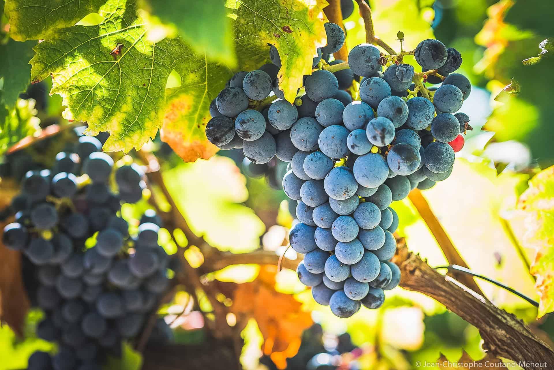 Grappolo d'uva nera